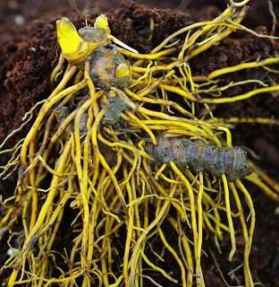 Goldenseal Root: Antibiotic