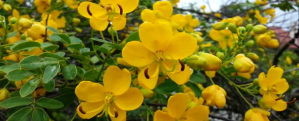 What is Senna Cassia Acutifolia?